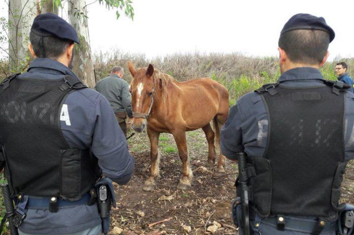 cavalli-Di-Silvio