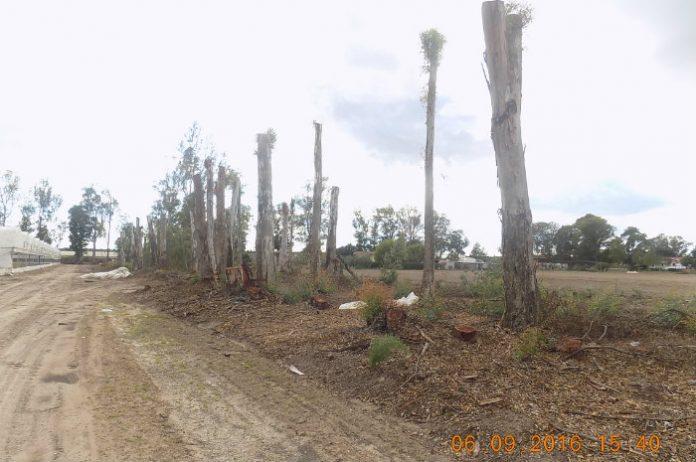 eucalipti-tagliati