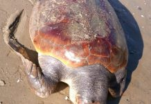 tartaruga marina Formia
