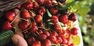 Sagra delle ciliegie