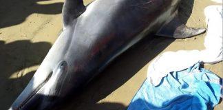autopsia delfino