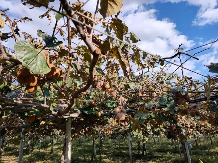 Grandine a Latina, l'SOS dei produttori di kiwi ai sindaci della provincia